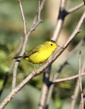 wilson, warbler, bird, tree, branch, up-close, wilsonia, pusilla