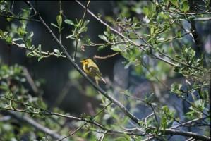 wilson, warbler, bird, wilsonia pusilla
