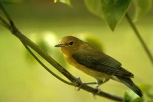 yellow, prothonotary, warbler, singing, bird