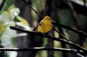 yellow, warbler