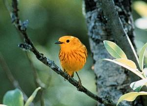 yellow, warbler, bird, male, dendrioica, petechia