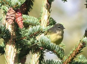 yellow, warbler, bird, orange, crowned, warbler