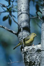 yellow, warbler, dendroica petechia, attends, nest, tree