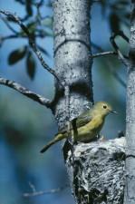 jaune, fauvette, dendroica, pétéchies, assiste, nid, arbre