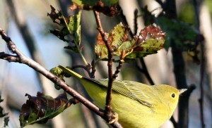 yellow, warbler, dendroica petechia, female, reeding, plumage