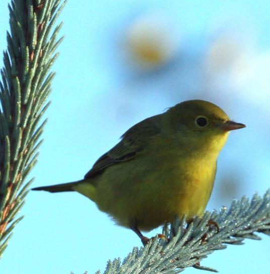 κίτρινο, ωδικό πτηνό, dendroica, πετέχιες, αρσενικό, εκτροφή, χρυσό, κίτρινο φτέρωμα