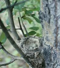 amarillo, curruca, Dendroica, petequias, nido, los huevos, el álamo, árbol