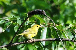 yellow, warbler, dendroica, petechia, branch