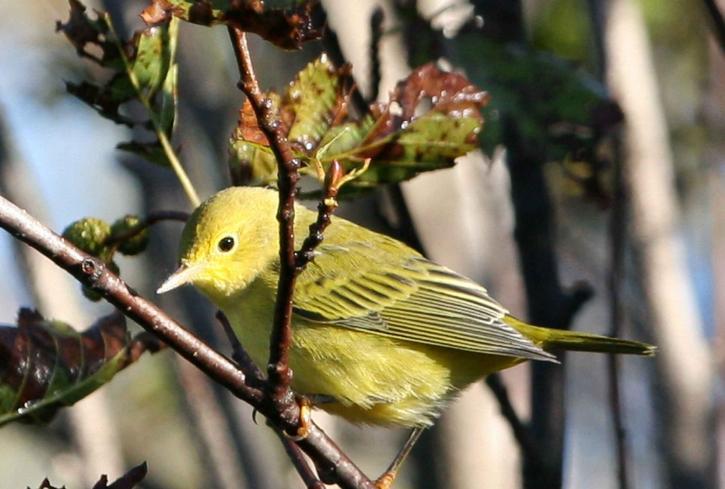 žlutá, pěnice, songbird, dendroica, petechie