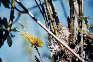 amarilla, curruca, polluelo, nido