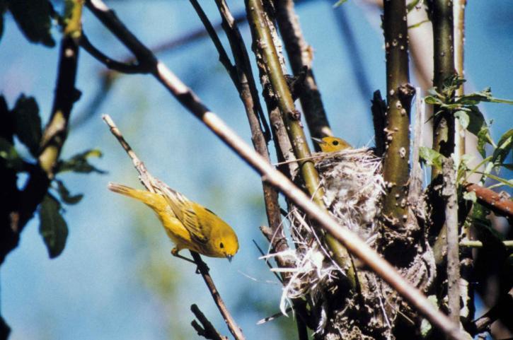 jaune, fauvette, poussin, nid