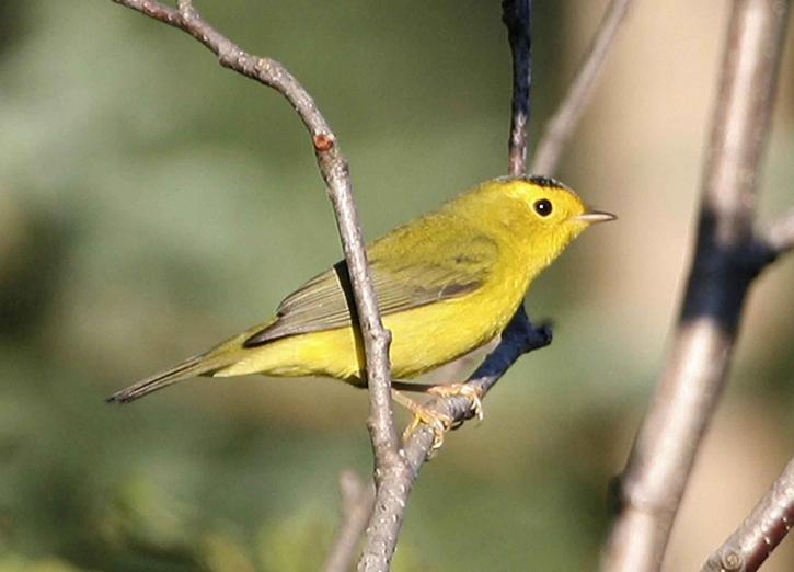 žlutá, wilson, zpěvný pták, strom, wilsonia pusilla