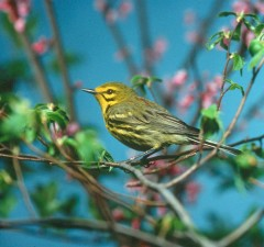 yellowish, prairie, warbler, bird