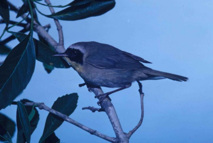 yellowthroat, warbler, tree, branch, geothypis, trichas