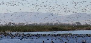 waterfowl, flying, water