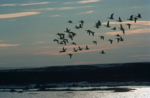 waterfowl, flying, birds, sky, Arctic