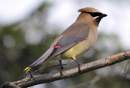 Pestvogels vogel
