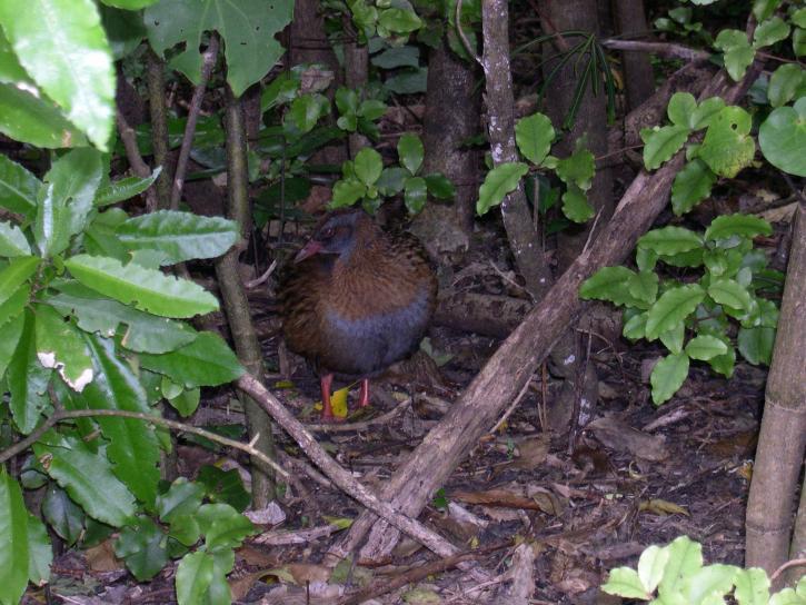 weka, bird, Zealand