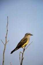 western, kingbird, tyrannus, verticalis