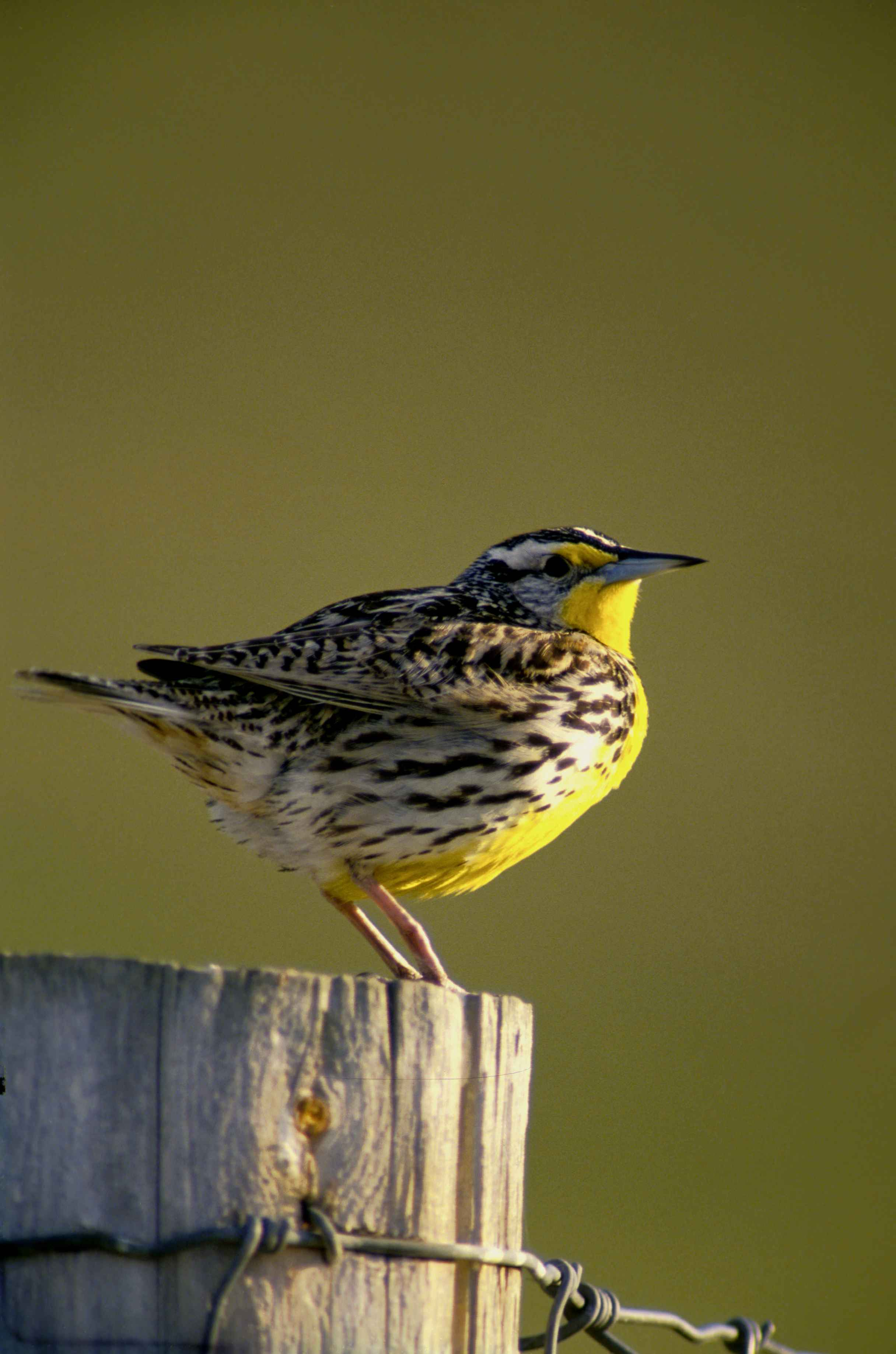 western meadowlark bird free images public domain images