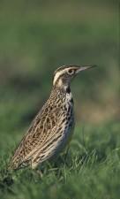 western, meadowlark, bird, head
