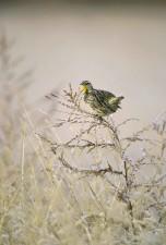 Zapadni, meadowlark, ptica, grana, sturnella neglecta