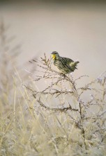 western, meadowlark, bird, branch, sturnella, neglecta