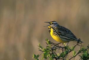 Zapadni, meadowlark, ptica, sturnella neglecta