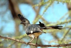 weiß, aufgebläht, Vogel, Corythaixoides, leucogaster