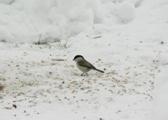 willlow, eating, seed