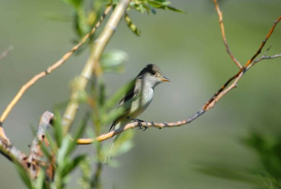 willow, flycatcher empidonax, traillii, small, insect, eating, bird, branch