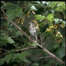 wood, thrush, small, passerine, songbird, hylocichla, mustelina, branch