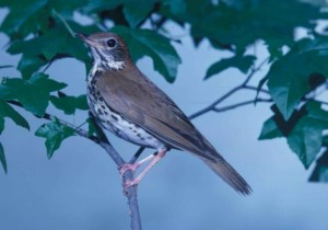 wood, thrush, songbird, hylocichla mustelina, looks, branch