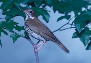 bois, grive, oiseau chanteur, Hylocichla, mustelina, regards, branche
