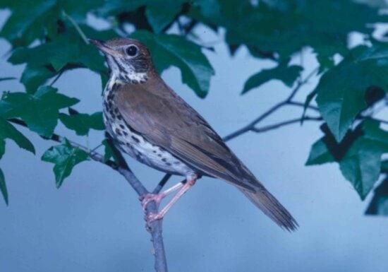 wood, thrush, songbird, hylocichla mustelina, looks, branch