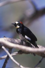 acorn, woodpecker, up-close, bird, melanerpes, formicivorus