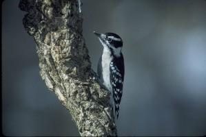 downy, woodpecker, bird, branch