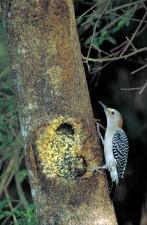 golden, fronted, woodpecker, bird, melanerpes, aurifrons
