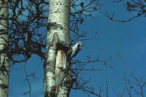 hairy, woodpecker, tree, picoides, villosus