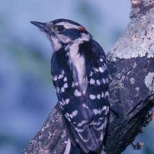 picoides, pubescens, bird, downy, woodpecker, tree