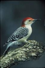 빨간색, 배꼽, 딱따구리, 새, melanerpes carolinus