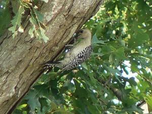 red, bellied, woodpecker, bird, tree