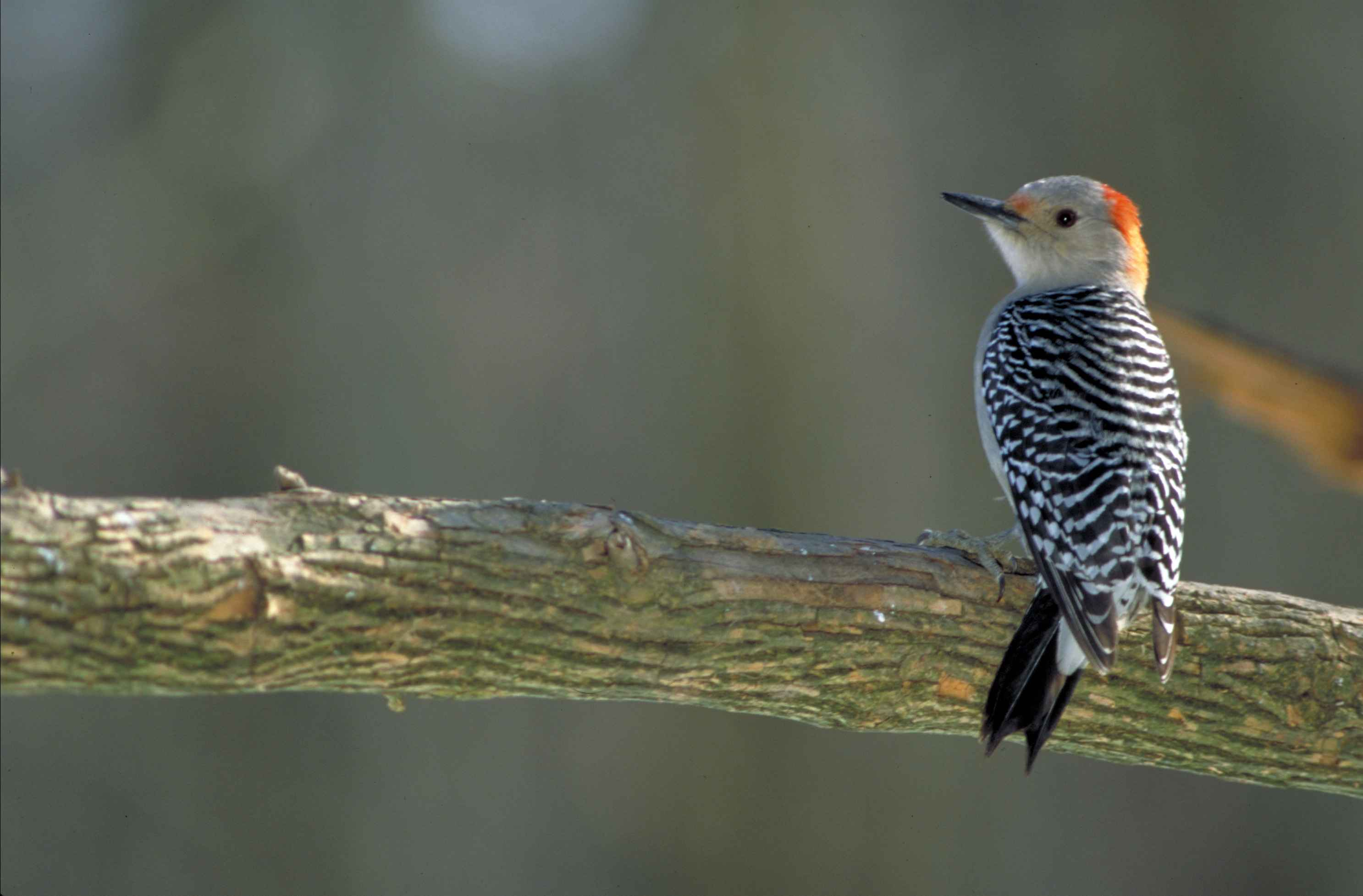 Free Picture Red Bellied Woodpecker Melanerpes