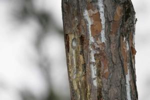 red, cockaded, woodpecker, nest, endangered