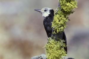 white, headed, woodpecker, bird, male, picoides, albolarvatus