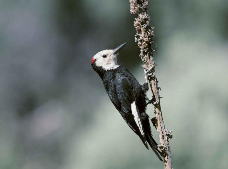 white, headed, woodpecker, picoides, albolarvatus