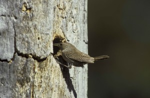 house, wren, outside, nesting, area, troglodytes aedon