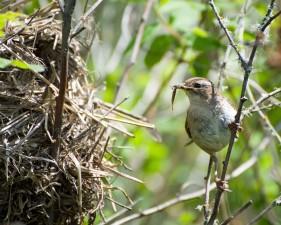 marais, roitelet, oiseau, nourriture, nid, Cistothorus, palustris