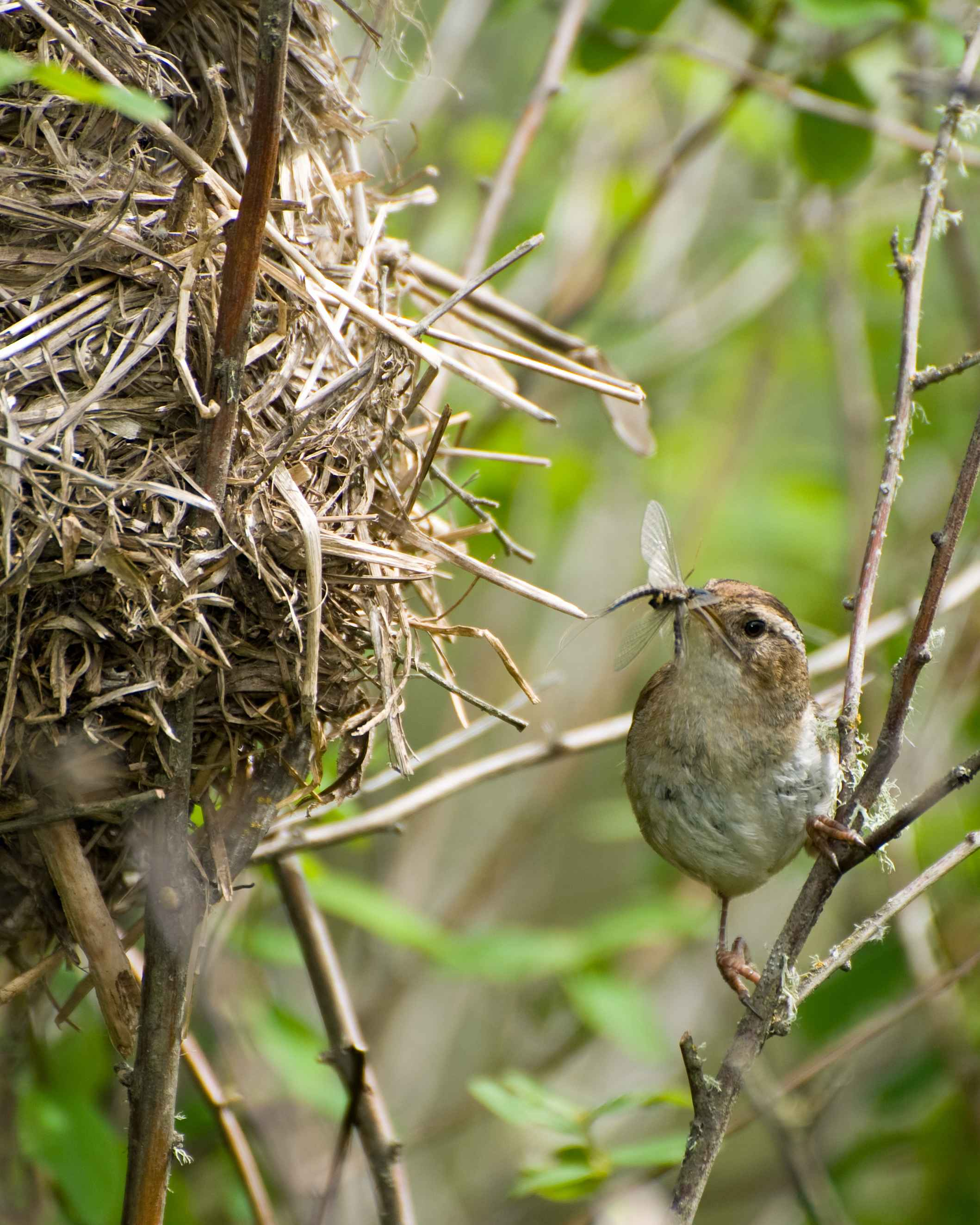 free picture marsh wren bird cistothorus palustris