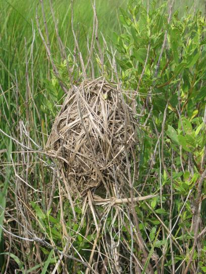 marsh, wren, cistothorus palustris, nest